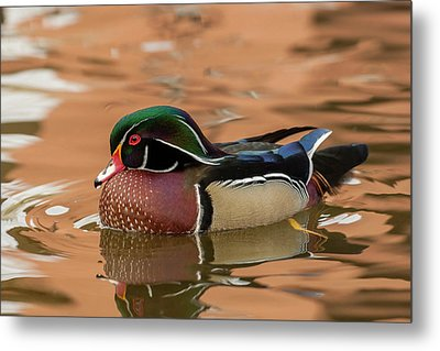 Usa, New Mexico Wood Duck Swimming Metal Print by Jaynes Gallery
