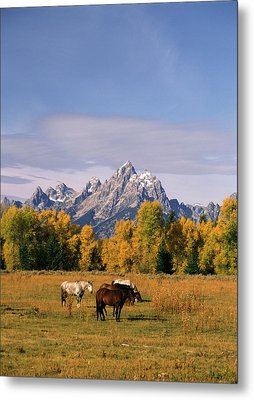 Usa, Wyoming, Horses In Grand Teton Metal Print by Stuart Westmorland