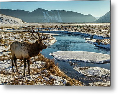 Usa, Wyoming, National Elk Refuge Metal Print by Jaynes Gallery