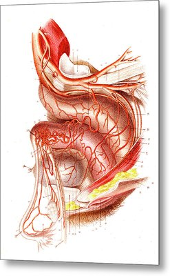 Uterus Blood Supply Metal Print by Collection Abecasis