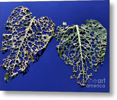Valentine - Hearts For Sale Metal Print by Daliana Pacuraru