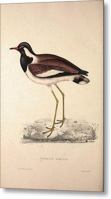 Vanellus Goensis, Plover Or Northern Lapwing. Birds Metal Print