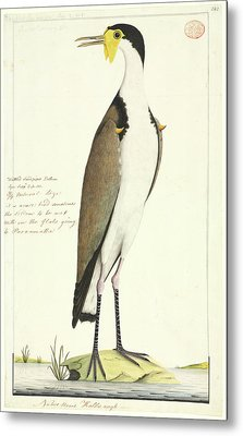 Vanellus Miles Metal Print by Natural History Museum, London