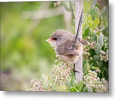 Variegated Fairywren  Metal Print by Kym Clarke