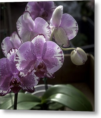Variegated Fuscia And White Orchid Metal Print