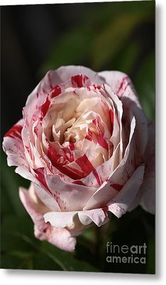 Metal Print featuring the photograph Variegated Rose by Joy Watson