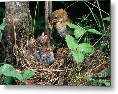 Veery At Nest Metal Print by Anthony Mercieca