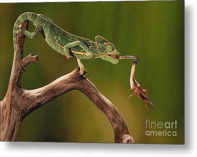 Veiled Chameleon Catches Cricket Metal Print