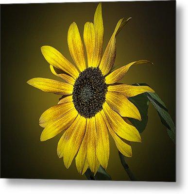 Velvet Queen Sunflower Metal Print