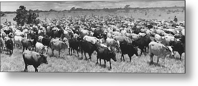 Venezuela Cattle Round-up  Metal Print by Retro Images Archive