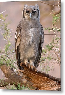 Metal Print featuring the photograph Verreaux Eagle-owl by Chris Scroggins