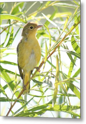 Metal Print featuring the photograph Very Yellow Warbler by Anita Oakley