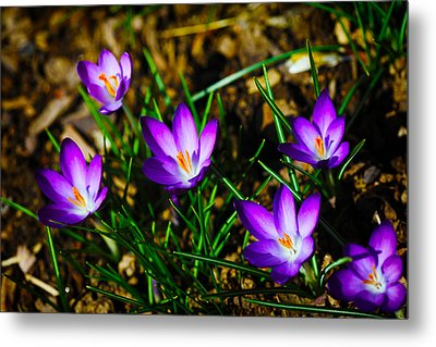 Vibrant Crocuses Metal Print by Karol Livote