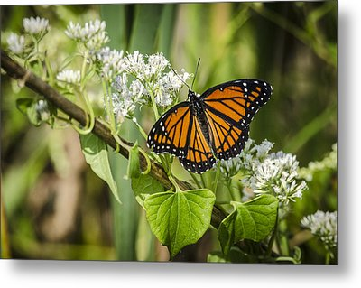 Viceroy Butterfly Metal Print by Bradley Clay