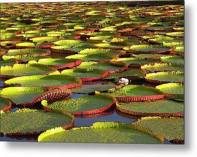 Victoria Amazonica Lily Pads Metal Print by Keren Su