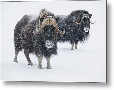 View Of A Pair Of Muskoxen Bulls Metal Print by Doug Lindstrand