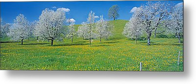 View Of Blossoms On Cherry Trees, Zug Metal Print by Panoramic Images