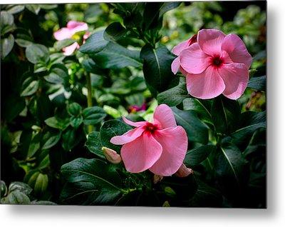 Vinca Rosea Singapore Flower Metal Print by Donald Chen