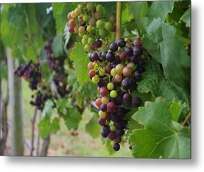 Metal Print featuring the photograph Vineyard Colors by Greg Graham