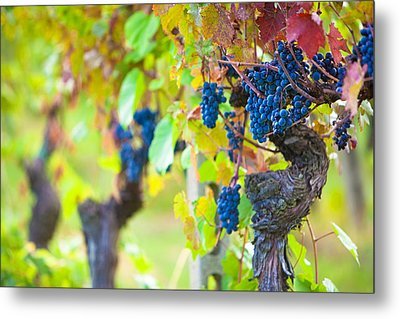 Vineyard Grapes Ready For Harvest Metal Print