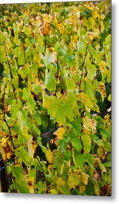 Vineyard In Autumn, Chigny-les-roses Metal Print by Panoramic Images