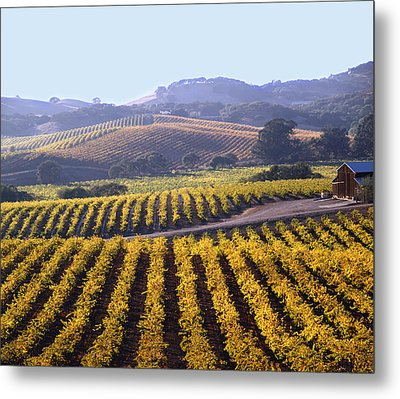 6b6386-vineyard In Autumn Metal Print