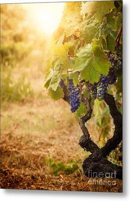Vineyard In Autumn Harvest Metal Print by Mythja  Photography