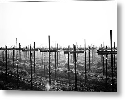 Vineyard In Fog Metal Print