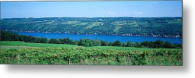 Vineyard With A Lake In The Background Metal Print