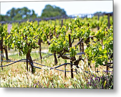 Vineyard With Young Plants Metal Print by Susan Schmitz