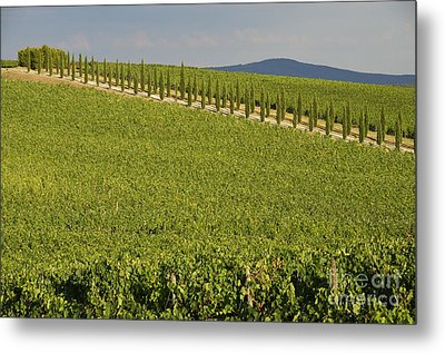 Vineyards And Cypresses Tree Alley In Chianti Metal Print by Sami Sarkis