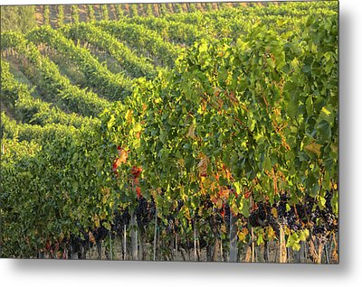 Vineyards In The Rolling Hills Metal Print by Terry Eggers