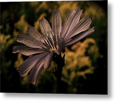 Vintage Chicory Metal Print by Tim Good
