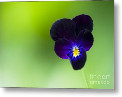 Viola Cornuta 'bowles Black' Metal Print by Tim Gainey