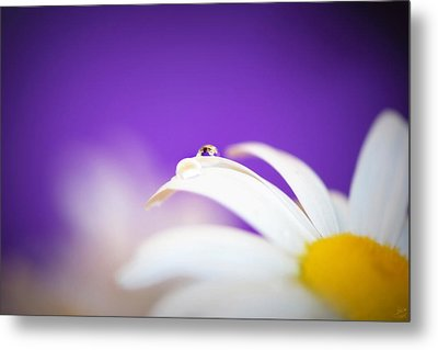 Violet Daisy Dreams Metal Print