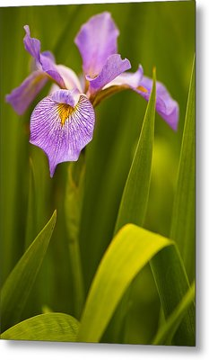 Violet Iris Metal Print by Phyllis Peterson