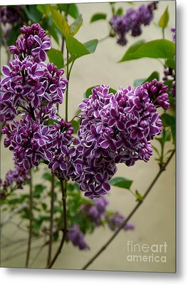 Violet Lilac Metal Print by Christiane Schulze Art And Photography