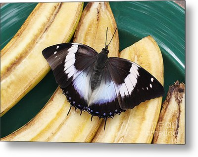 Violet-spotted Charaxes Butterfly Metal Print