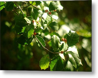 Metal Print featuring the photograph Virginia Holly Tree And Berries by Suzanne Powers