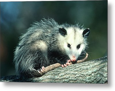 Virginia Opossum (didelphis Virginiana Metal Print by Richard and Susan Day
