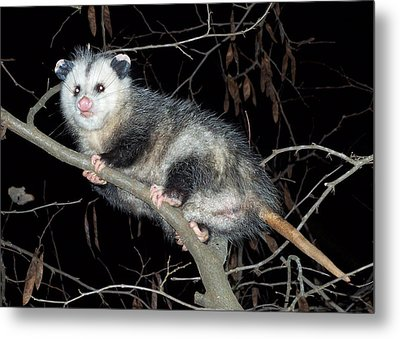 Metal Print featuring the photograph Virginia Opossum by William Tanneberger