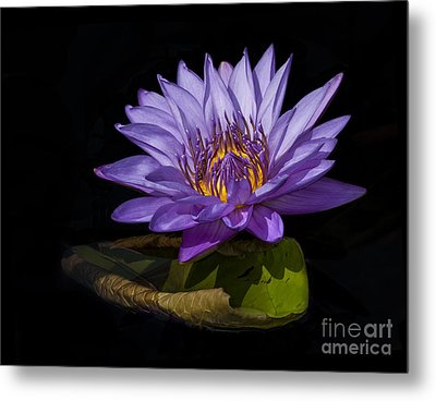 Visitor To The Water Lily Metal Print by Roman Kurywczak