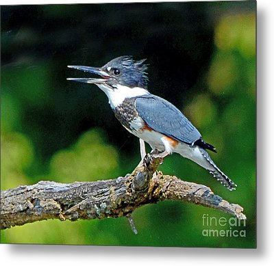 Vocal Belted Kingfisher Metal Print by Rodney Campbell
