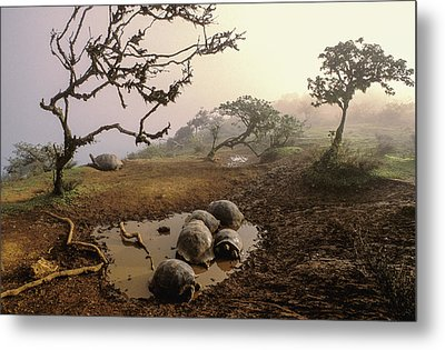 Volcan Alcedo Giant Tortoises Wallowing Metal Print by D. Parer & E. Parer-Cook