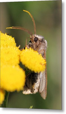 Voluble Dart Moth Metal Print by Doris Potter
