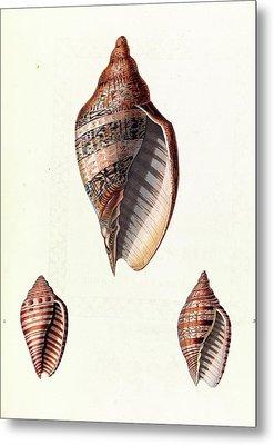 Voluta Seashells Metal Print by Royal Institution Of Great Britain