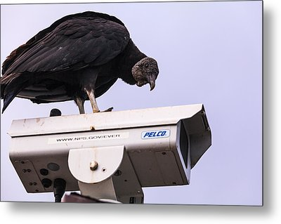 Vulture On Surveillance Camera Metal Print by Jonathan Gewirtz