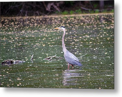 Metal Print featuring the photograph Wading Crane by Susan  McMenamin