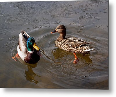 Wading Ducks Metal Print by Rona Black