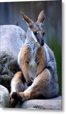 Metal Print featuring the painting Wallaroo 1 by Amanda Vouglas